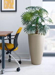 Chinese Fan Palm plant
