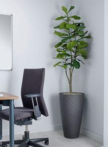 fiddle Leaf Fig Design plant