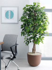 Green Weeping Fig Design